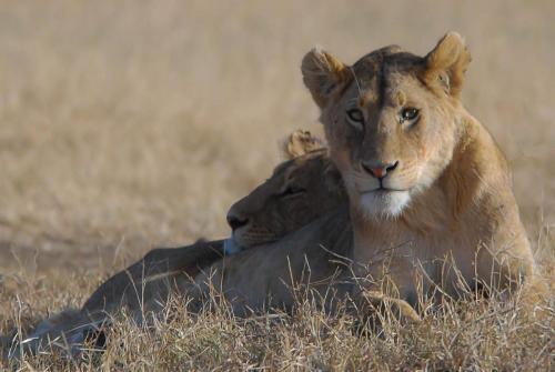 Lionesses Resting 21 Nature Silver John Lamont