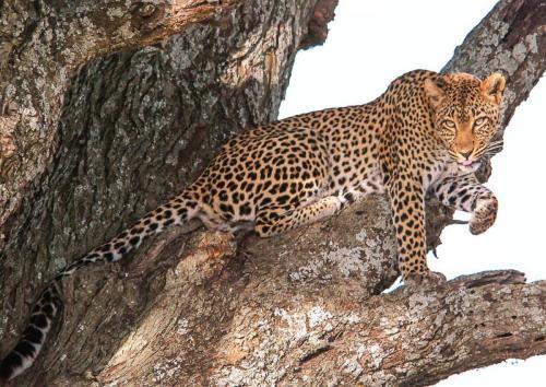 Leopard 21.5 Nature Silver John Lamont