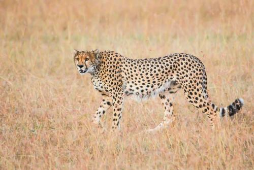 Cheetah Hunting 21.5 Nature Silver John Lamont