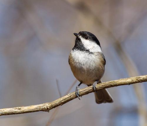Black Capped Chickadee 22.5 Nature Silver SPP Andy Langs