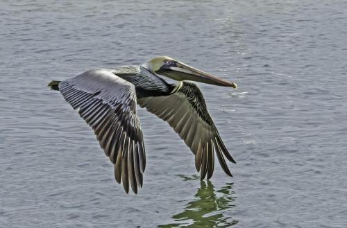 Brown pelican 24.5 Nature Gold HM GPP Jim Maguire