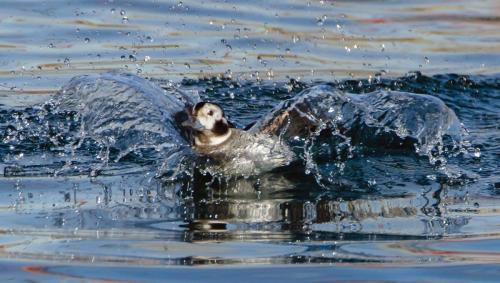 Longtailed duck, f. 21.5 Nature Gold Jim Maguire