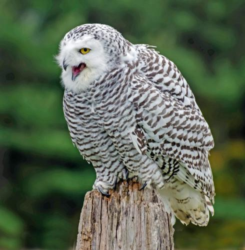 Snowy owl 21 Nature Gold Jim Maguire