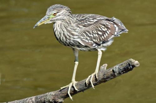 Immature Black-Crowned Night Heron 23 Nature Gold GPP Derrick May