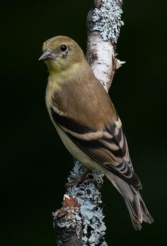 AMERICAN GOLDFINCH, Adult 23.5 Nature Silver HM SPP Herb McClelland