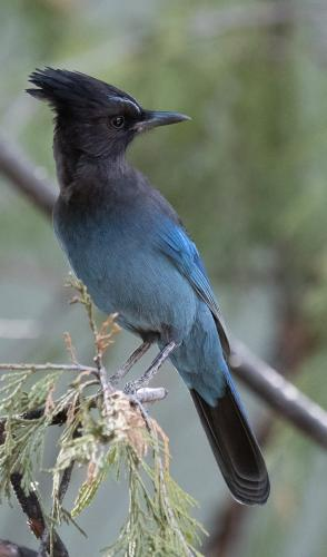 STELLER'S JAY 21.5 Nature Silver Herb McClelland
