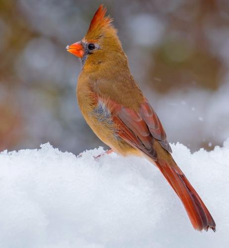 Female Northern Cardinal 23.5 Nature Gold GPP Bela Acs