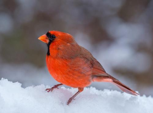 Male Northern Cardinal 22.5 Nature Gold Bela Acs