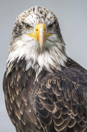 Bald Eagle portrait 21.5 Nature Gold Jeanne Pickles