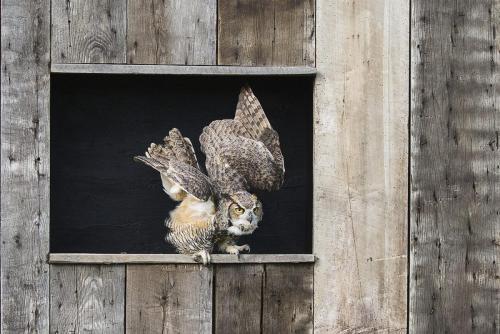 Great Horned Owl 25 Pictorial Gold HM GPP Jeanne Pickles