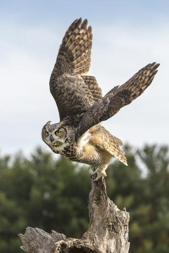 Great Horned Owl 23.5 Nature Gold GPP Jeanne Pickles