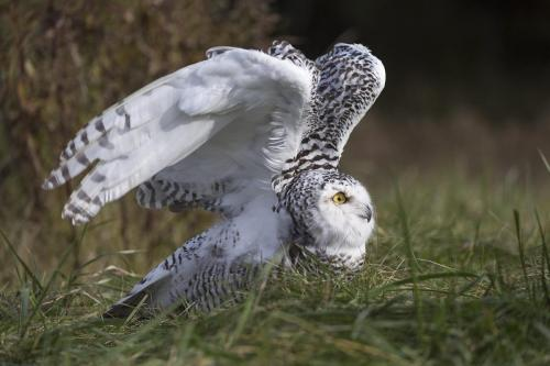 Snowy Owl 22.5 Nature Gold Jeanne Pickles