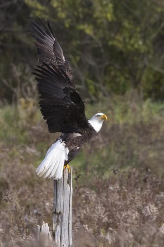 Bald Eagle 21.5 Nature Gold Jeanne Pickles