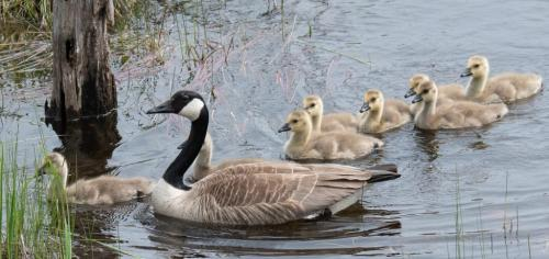 Canada Goose With Family 7 7.5 7.5 22 SPP Herb McClelland  Nature Silver