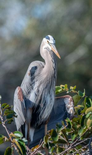 Great Blue Heron - Adult 7 7 7.5 21.5 Herb McClelland  Nature Silver