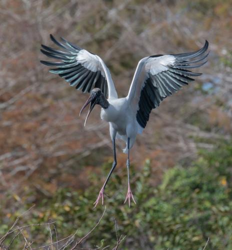 Wood Stork 8 7 7.5 22.5 SPP Herb McClelland  Nature Silver