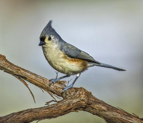 Tufted Titmouse 7.5 7 7 21.5 Gary Love  Nature Master