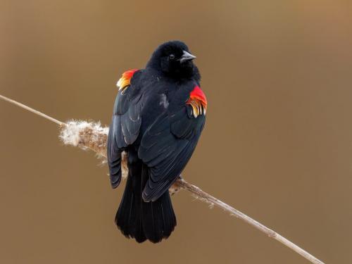 Red-Winged Blackbird 8.5 8 8 24.5 HM GPP Brian Floyd  Nature Gold