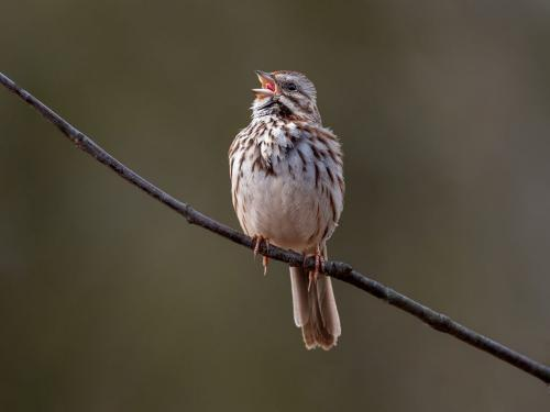 Song Sparrow 8 8 7 23 GPP Brian Floyd  Nature Gold