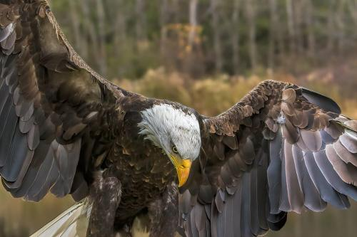 Bald Eagle 7 6.5 6.5 20 Gary Love  Nature Master