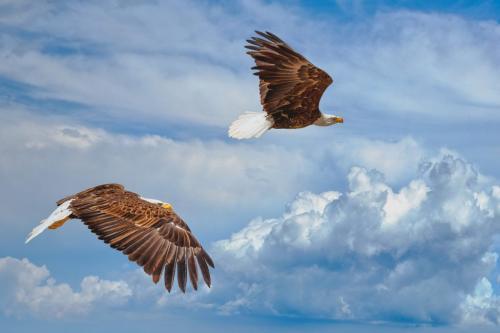 Bald Eagle 7.5 7 7.5 22 Victor Turczynski  Nature Gold