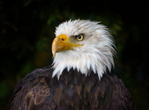 Baldeagle by Andy Langs - Nature
