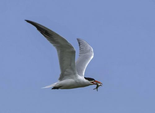 Caspian Tern With Fish 7 7 8 22 Jim Maguire  Nature Gold