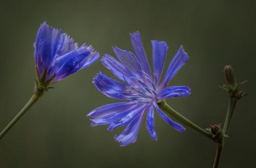 Chicory 8 8.5 7 23.5 Doug Doede  Nature Master