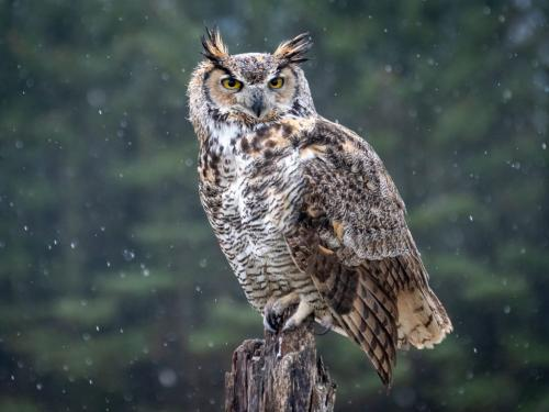 Great Horned Owl 9 8.5 8 25.5 TC BPP Mike Mulvale  Nature Bronze