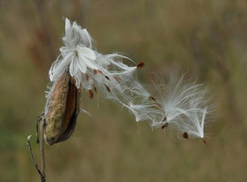 Milkweed Pod 8 8.5 7.5 24 DP Heather Engel  Nature Master