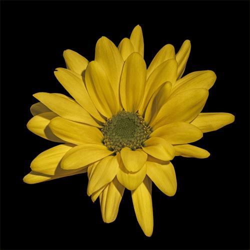 Yellow Daisy 7.5 7 7.5 22 Claudia Povilauskas  Pictorial Gold