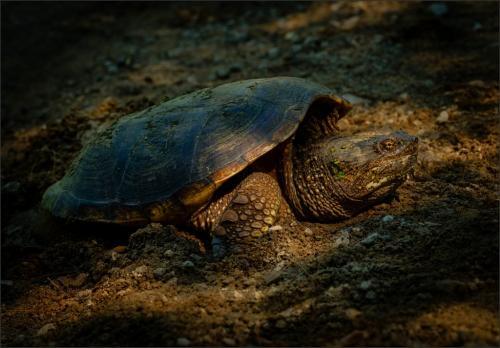 Egg Laying Snapping Turtle 7 7.5 8 22.5 Bela Acs  Nature Master