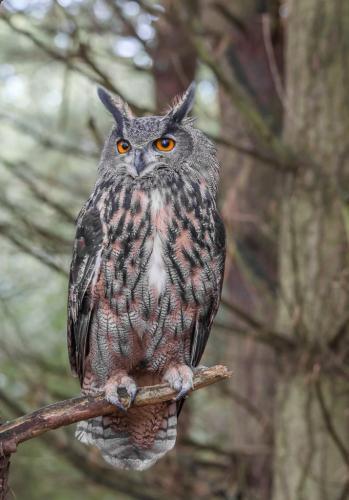 Eurasian Eagle Owl 7 8 7 22 Bertin Francoeur  Nature Gold