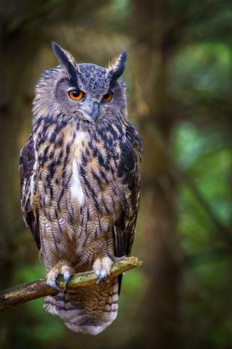 Eurasian Eagle-Owl 8 7.5 7.5 23 SPP Andy Langs  Nature Silver