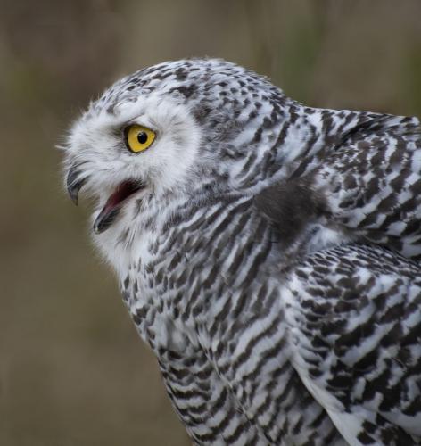 Snowy Owl Portrait 7.5 8 7 22.5 Elzbieta Piskorz  Nature Gold