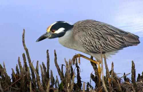 Yellow Crowned Night Heron 7 7.5 7 21.5 Leonie Holmes  Nature Gold