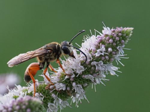 Wasp 7 9.5 7.5 24 HM GPP John Strung  Nature Gold