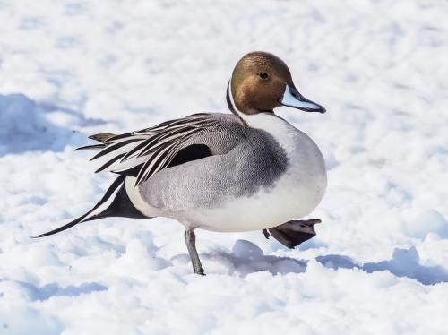 Pintail Duck 7 8 8 23 GPP Colleen Bird  Nature Gold