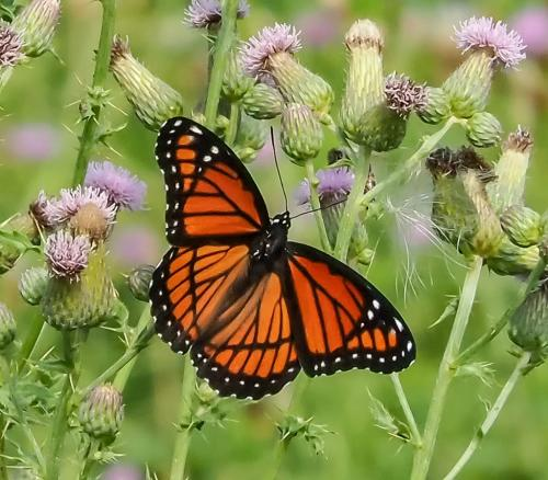 Viceroy Butterfly 6 7.5 6.5 20 Colleen Bird  Nature Gold