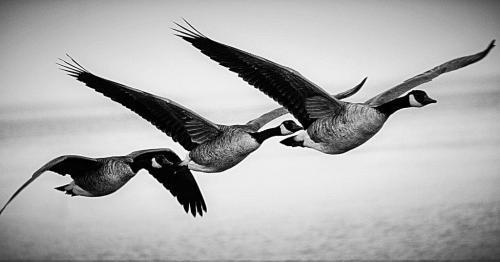 Geese In Flight  Nature Bronze