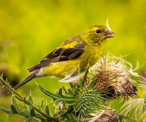 Goldfinch On Thistle 7.5 8.5 7.5 23.5 GPP David Evans  Nature Gold
