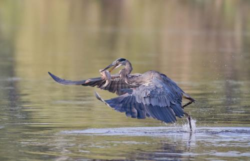 Great Blue Heron With Fish by Pat Wintemute - Nature
