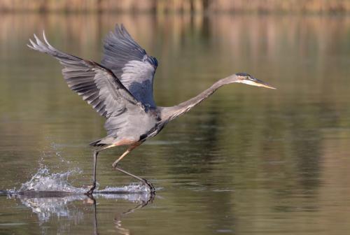 Great Blue Heron 8.5 7.5 8 24 HM GPP Pat Wintemute  Nature Gold