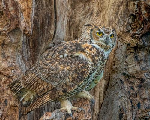 Great Horned Owl Camouflaged by Geoff Dunn - Nature