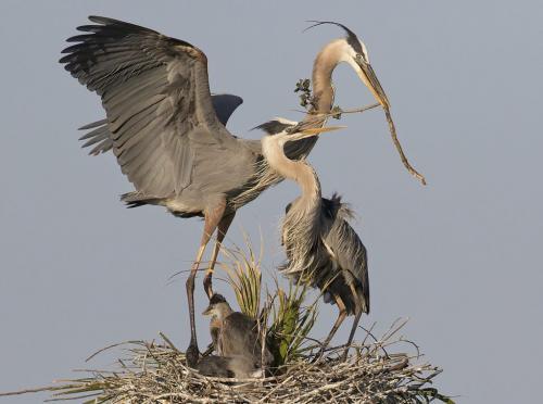 Great Blue Herons Nest Building 7.5 8 9 24.5 HM DP David Seldon  Nature Master