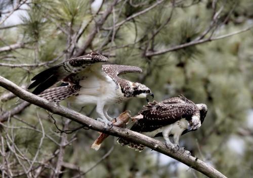 Ospreys  7.5 8 8 23.5 GPP Pat Wintemute  Nature Gold