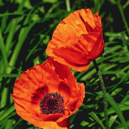 Poppies 6.5 7 6.5 20 Judy Moniz  Pictorial Silver
