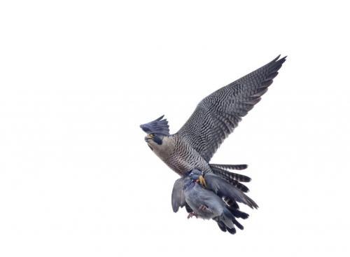 Peregrine Falcon With Pigeon 8.5 8 8 24.5 HM GPP Pat Wintemute  Nature Gold