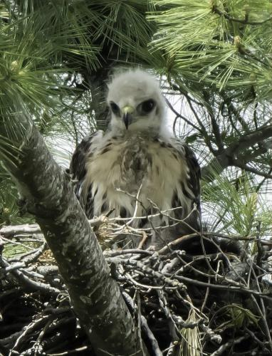 Red-Tailed Hawk (Juv.) On Nest 7 6.5 7.5 21 Jim Maguire  Nature Gold