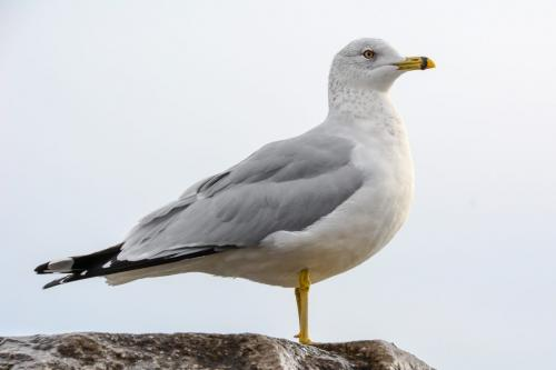 Ring Billed Gull 7 7.5 7.5 22 SPP Janet McNally  Nature Silver